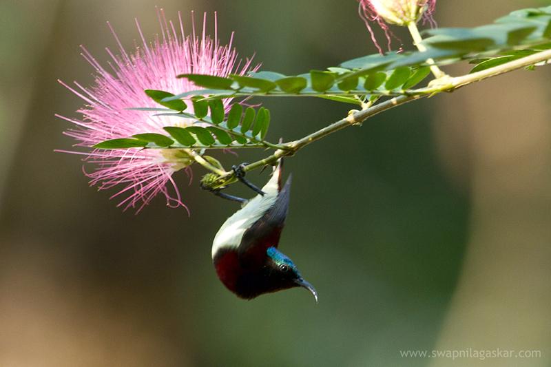 Purple-rumped male Sunbird