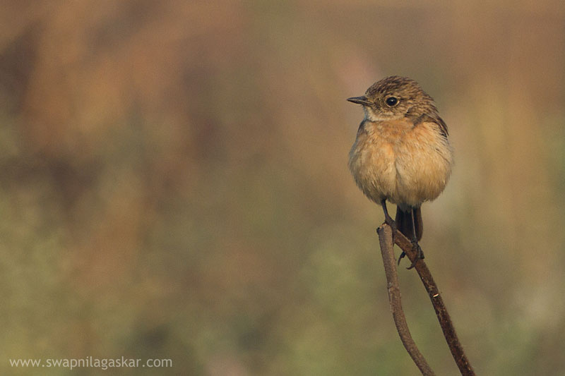 A Stonechat image with shallow Depth of Field