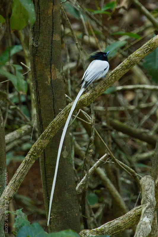 Indian Paradise Flycatcher, Male