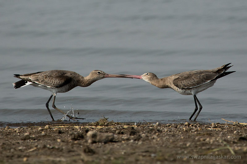Black Tailed Godwits fighting