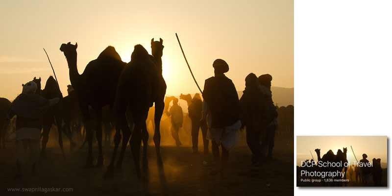 Camels at Pushkar fair