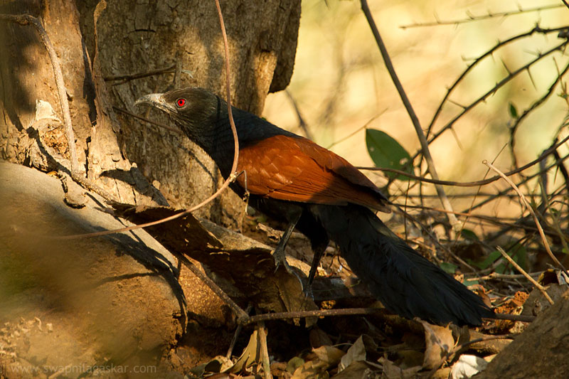 Coucal sighted at Borivali National Park