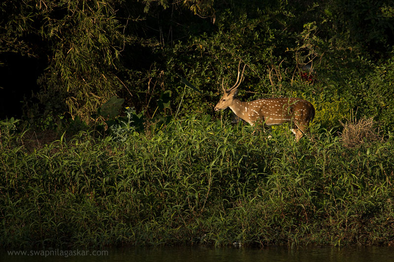 Spotted Deer near the boating lake