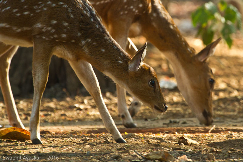 Spotted Deer at Borivali National Park