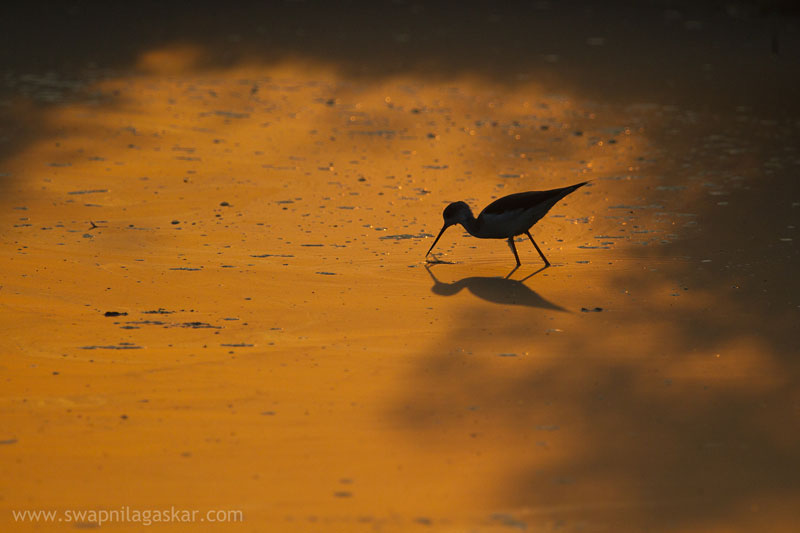 Black Winged Stilt at Bhandup Pumping Station